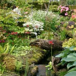 Bloeiende Primula's in de veentuin