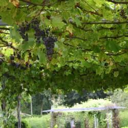 Druiven in de metalen pergola