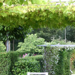 Druiven in de metalen pergola met daar achter de clematissen