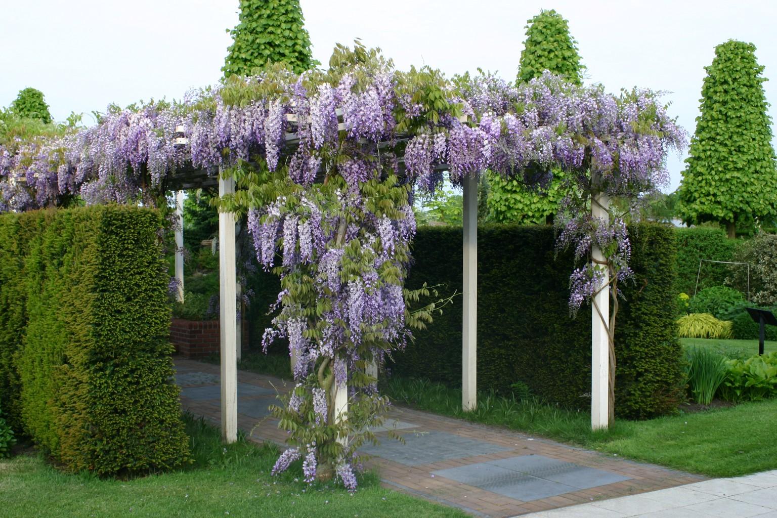 Houten pergola met blauweregen kijktuinen nunspeet