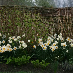 Oud Hollands plein met narcissen