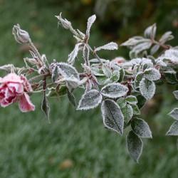 Winter roos
