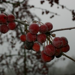 Winter sierappels
